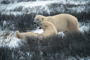 Why care about the Polar Bear?