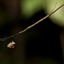 Stick Spiders from Different Hawaiian Islands Evolve in Parallel
