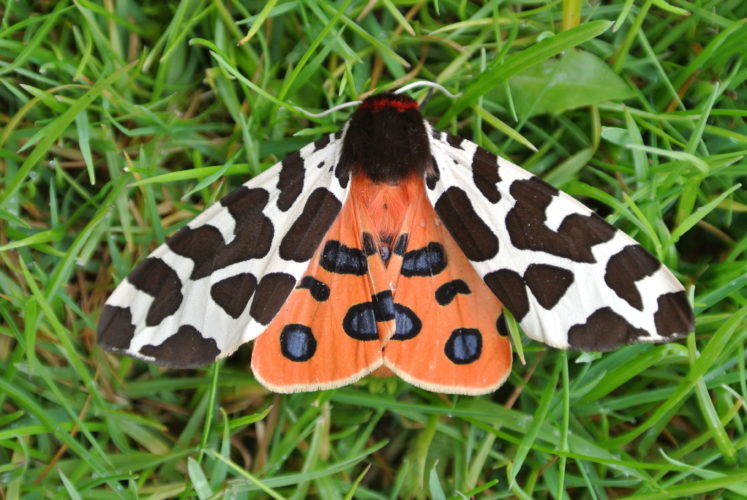 Image of a tiger moth.