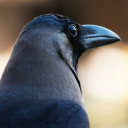 A close up image of a corvid.
