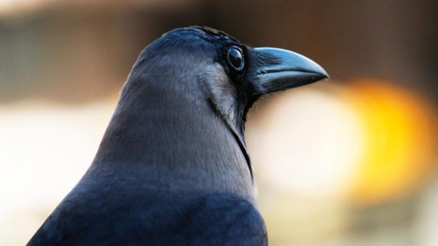 A close up image of a corvid.