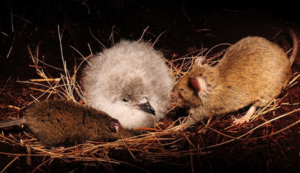 A seabird chick making unwanted rodent friends. Photograph by Peter Ryan, Royal Society for the Protection of Birds.