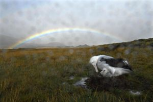 A wandering albatross parent shelters its chick from the rain Marion Island, where precipitation is very common.