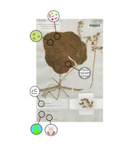 How information in herbarium specimens can help us understand global change
